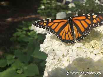 BEYOND LOCAL: Study suggests neonic pesticides harming monarch butterfly eggs