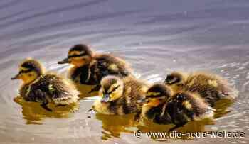 Tierquälerei im Schlossgarten Bruchsal - Zwei Entenküken erschlagen - die neue welle