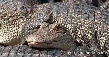 A los caimanes les gusta visitar Disney World - Tribunanoticias