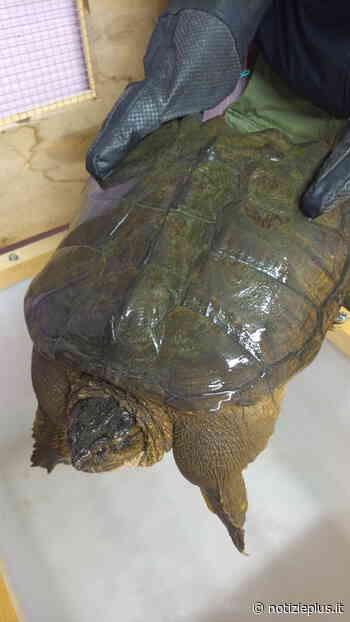 Pericolosa tartaruga azzannatrice recuperata a Dosson di Casier: è in affido temporaneo al Tropicarium Park di Jesolo - Notizie Plus