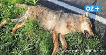 Hagenow: Wolf stirbt bei Kollision mit Pkw - Ostsee Zeitung