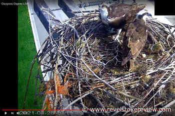 Osprey cam is back live in Osoyoos – Revelstoke Review - Revelstoke Review