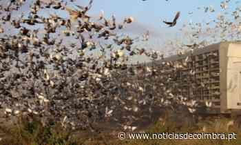 50 mil pombos-correio voam de Espanha para Portugal - Notícias de Coimbra
