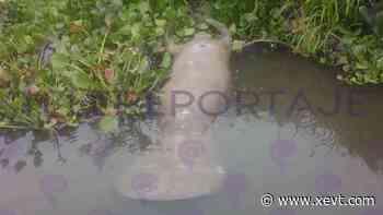 Hallan manatí muerto... ahora en río de Ismate y Chilapilla - XeVT 104.1 FM   Telereportaje