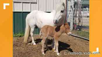 Waffle the mini horse gives birth to baby girl at Union, Missouri, rescue ranch