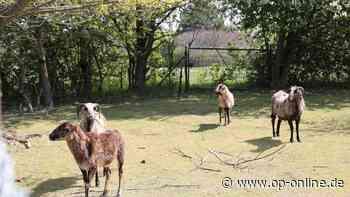 Tierhalter aus Dreieich verzweifelt: Grundstück vor Räumung - Happy End für die Schafe? - op-online.de