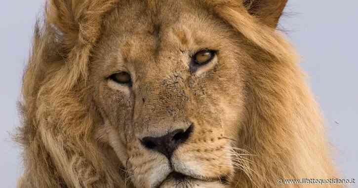 C'era una volta il re della foresta… ora anche il leone è una specie in pericolo