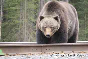 Banff bear occurrence report underway for season - St. Albert Today