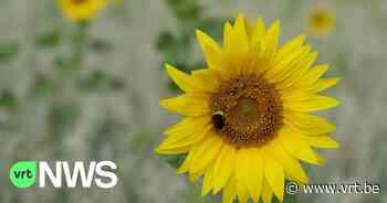 Zonnebloemen voor Zoutleeuw, Van Gogh en solidariteit - VRT NWS