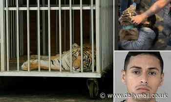Missing tiger India pictured inside a cage as he's transported to a sanctuary after roaming Houston