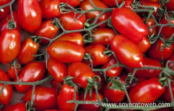 C'è un virus che uccide pomodori e peperoni in Sicilia - Soverato Web