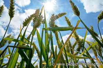 Geplante Getreidetrocknungsanlage in Schwanau geht in die zweite Runde - Schwanau - Badische Zeitung - Badische Zeitung