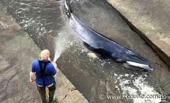 Sacrifican ballena varada y liberada en el Támesis de Londres - Red Uno