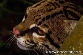 Investigan denuncia sobre la caza de un ocelote en Yacopí, Cundinamarca - El Espectador