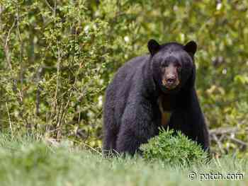 The Town Of Deep River Has Visitors; Black Bears! - Patch.com