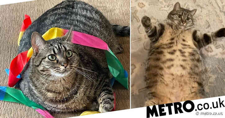 Meet Swayze, the 16.8lb cat who's gaining fans for her hefty size