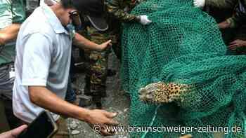 Leopard in Indien in Wohngebiet gefangen