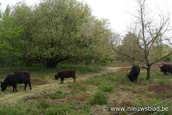 Vier nieuwe galloways in Fort 3 (Borsbeek) - Het Nieuwsblad