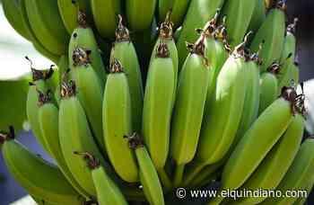 85 productores de Filandia serán beneficiarios de subsidio para apoyar el cultivo de plátano y hortalizas - El Quindiano S.A.S.