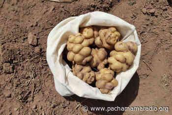 Chucuito: cosechan 96 variedades de papa en el IERR Palermo de Juli - Pachamama radio 850 AM