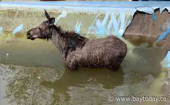 ONTARIO: Sudbury fire department assists in rescue of moose that was trapped in a pool