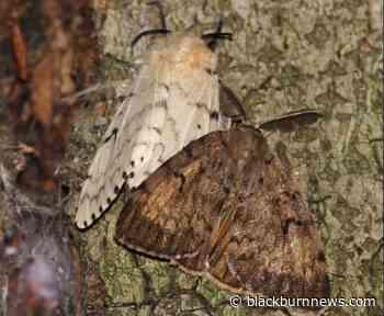 Lambton Shores aerial spraying set to control gypsy moth infestation - BlackburnNews.com