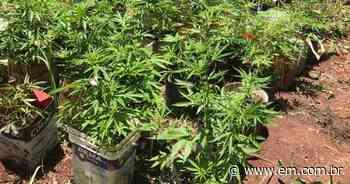 PM prende jovem que plantava maconha em fazenda invadida em Esmeraldas - Estado de Minas