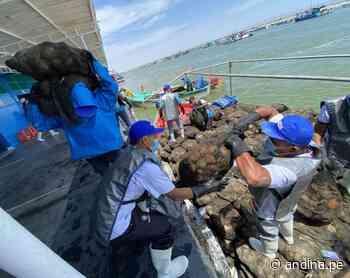 Piura: harán estudio en la bahía de Sechura para validar producción de conchas de abanico - Agencia Andina