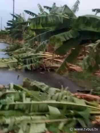 Alrededor de 70 plataneros de San Bartolo, reportan daños por lluvias - TV BUS Canal de comunicación urbana