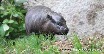 Edinburgh Zoo gives sweet name to Scotland's only endangered pygmy hippo calf - Daily Record
