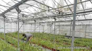 À Mametz et Wavrin, deux hommes font pousser du chanvre pour produire du cannabidiol (CBD) - La Voix du Nord