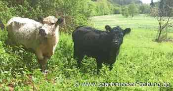 Auf Ill-Aue in Eppelborn sorgen Galloway-Rinder für Naturschutz - Saarbrücker Zeitung