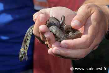 Mimizan (40) : les serpents, vedettes de la Fête de la nature - Sud Ouest