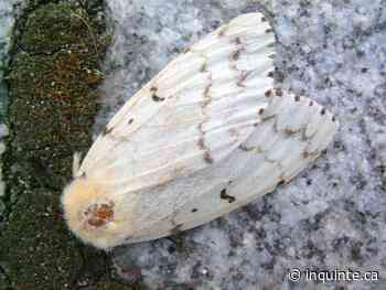 INQUINTE.CA   Quinte West council calling for support in dealing with gypsy moth infestation - inquinte.ca