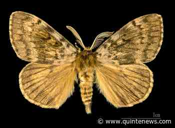 Quinte West council seeking regional support to push province to act on gypsy moth infestation - Quinte News