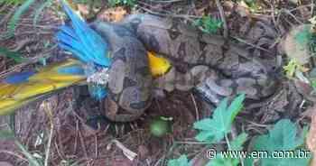 Jiboia de quase dois metros é flagrada comendo arara em Ituiutaba - Estado de Minas