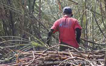 A punto de concluir temporada de zafra en Huixtla - El Heraldo de Chiapas