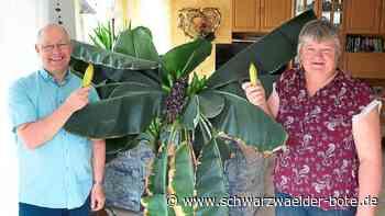 Schopfloch - Bananen gedeihen im Wohnzimmer - Schwarzwälder Bote