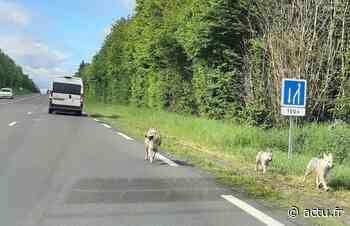 Fausse alerte aux loups près de Pacy-sur-Eure - actu.fr
