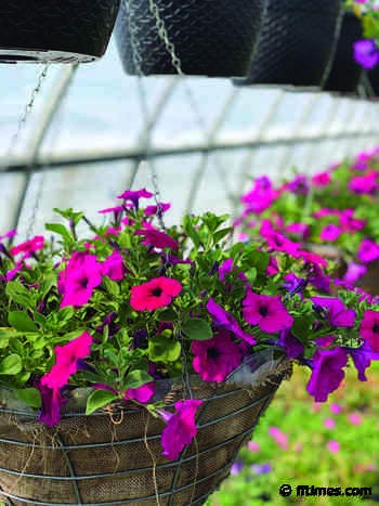 Project Petunia set to bloom – Fort Frances Times - Fort Frances Times