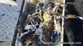 Apreensão Polícia Ambiental Martítima solta 150 siris azuis em Iguape após pesca ilegal 05/05/2021 - Adilson Cabral