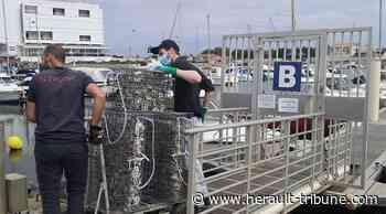 Marseillan: retour des nurseries de poissons dans le port pour sauvegarder la biodiversité - Hérault-Tribune