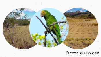 Salvar la cotorra para salvar el bosque seco de Margarita - Cinco8
