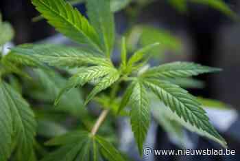 Cannabisbende opgerold: vier arrestaties <BR />