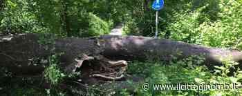 Carate Brianza: enorme tronco sul sentiero nel bosco - Il Cittadino di Monza e Brianza