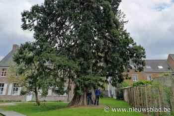 Groen zoekt mooiste boom van het Pajottenland