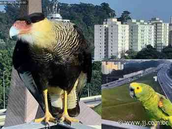 Câmeras da CCR AutoBAn flagram dois papagaios e um gavião-carcará na Rodovia dos Bandeirantes - Jornal de Jundiaí