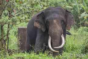 Golungo Alto: Elefante à solta está a destruir lavras no Cuanza-Norte - Rádio Nacional de Angola