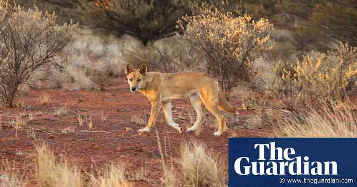 'Dingoes were here first': the landowners who say letting 'wild dogs' live pays dividends