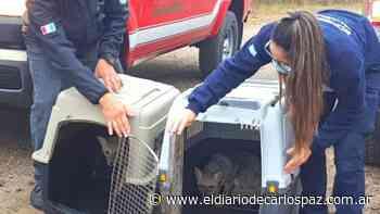 Liberan a dos zorritos y hallan a una yarará falsa en Malagueño - El Diario de Carlos Paz